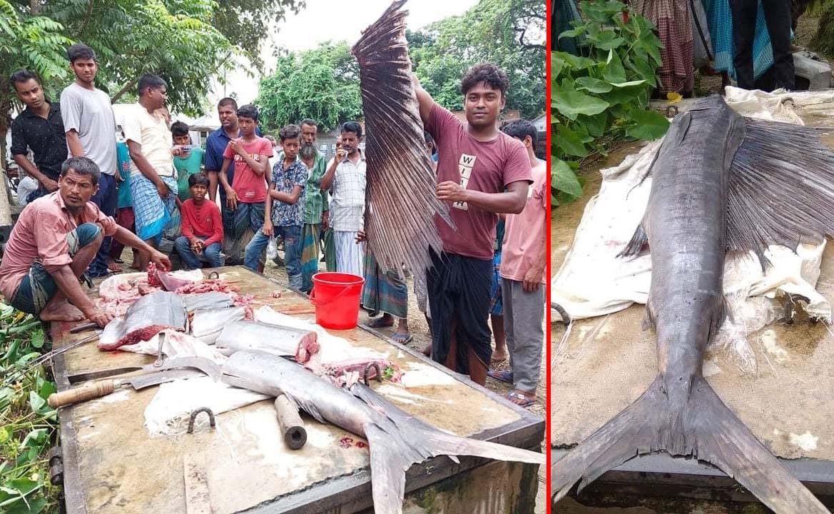 জামালপুরে জেলের জালে ৪৬ কেজির গাং চ্যালা